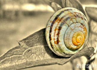 photography nature snail sepia shell