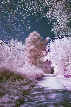 japan cherry blossoms beautiful