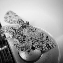 blackandwhite butterflies nature photography chrisjhimes