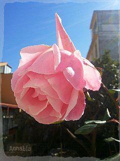 macro photography flower love rose